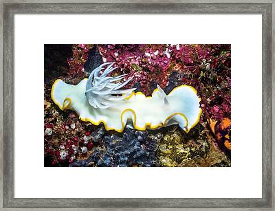 Nudibranch On A Reef Framed Print by Georgette Douwma