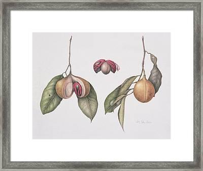 Nutmeg  Framed Print by Margaret Ann Eden