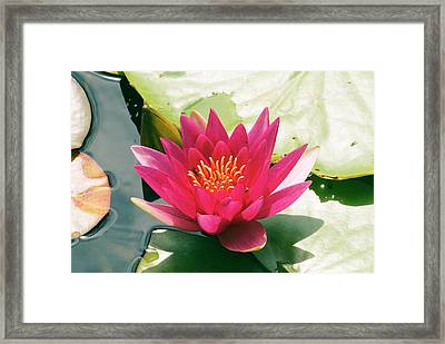 Nymphaea 'escarboucle' Framed Print by Adrian Thomas