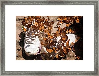 Nymphalid Butterflies Salt Puddle Feeding Framed Print by Paul D Stewart