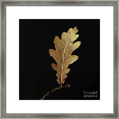 Oak Leaf Framed Print by Bernard Jaubert
