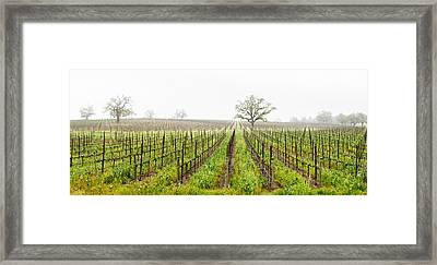 Oak Trees In A Vineyard, Guerneville Framed Print by Panoramic Images