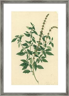 Ocimum Sanctum Framed Print by Natural History Museum, London