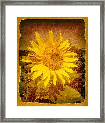 Of Sunflowers Past Framed Print by Bob Orsillo