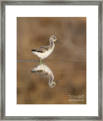 Oh So Sweet Avocet Chick Framed Print by Ruth Jolly