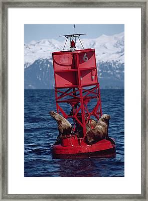 Oil Stained Stellers Sea Lions Prince Framed Print by Flip Nicklin