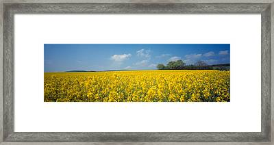 Oilseed Rape Brassica Napus Crop Framed Print by Panoramic Images