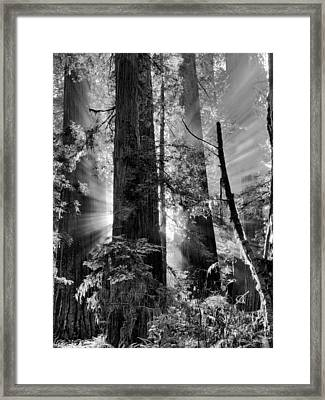 Old Growth Forest Light Black And White Framed Print by Leland D Howard