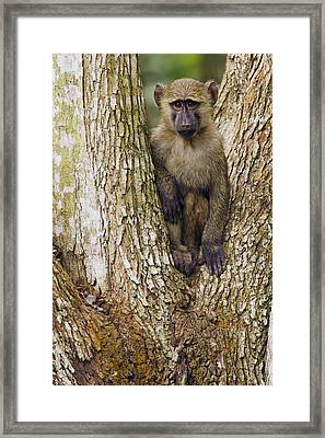 Olive Baboon Juvenile Kibale Np Uganda Framed Print by Sebastian Kennerknecht