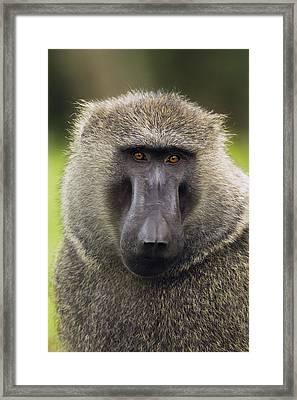 Olive Baboon Male Kibale Np Uganda Framed Print by Sebastian Kennerknecht