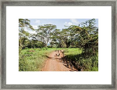 Olive Baboon Papio Anubis Herd Framed Print by Photostock-israel