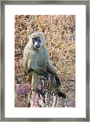 Olive Baboon Papio Anubis Framed Print by Photostock-israel