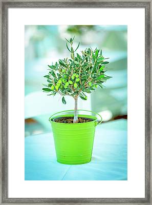 Olive Tree In A Green Pot Framed Print by Wladimir Bulgar