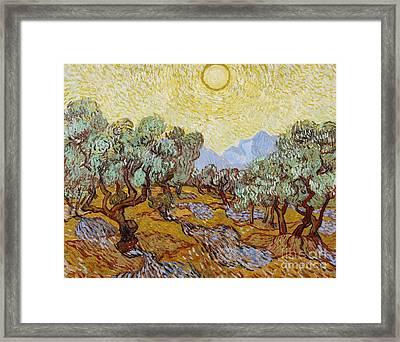 Olive Trees Framed Print by Vincent Van Gogh