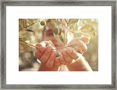 Olives Harvest Framed Print by Mythja  Photography