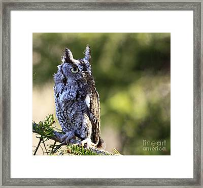 On Alert Majestic Eastern Screech Owl  Framed Print by Inspired Nature Photography Fine Art Photography
