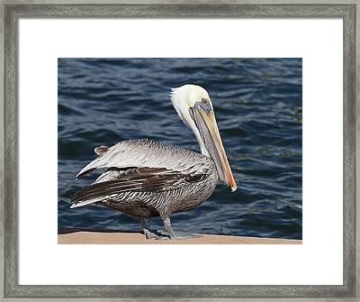 On The Edge - Brown Pelican Framed Print by Kim Hojnacki