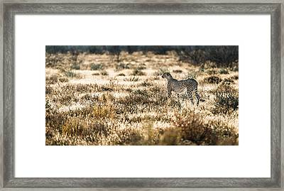 On The Prowl - Cheetah Photograph Framed Print by Duane Miller