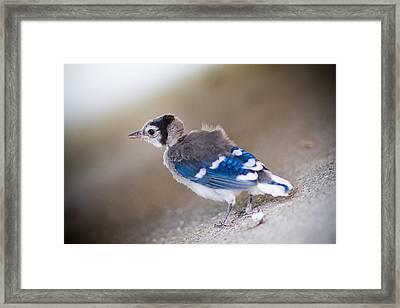 one day...I will fly Framed Print by Shane Holsclaw