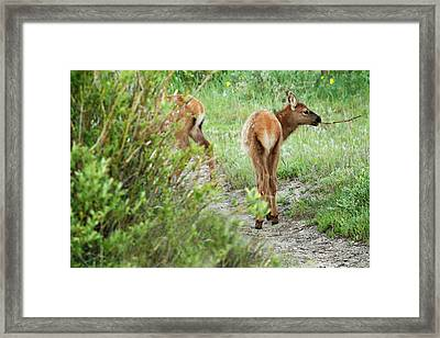 One Elk Calf With Stick In Mouth Framed Print by Piperanne Worcester