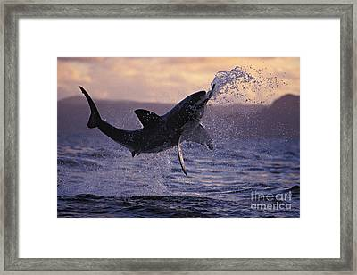 One Great White Shark Jumping Out Of Ocean In An Attack At Dusk Framed Print by Brandon Cole