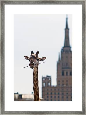 One More Bite To Outgrow The Tallest 3 - Featured 3 Framed Print by Alexander Senin
