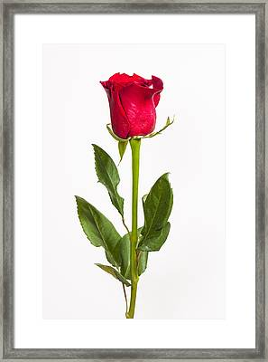 One Red Rose Framed Print by Adam Romanowicz