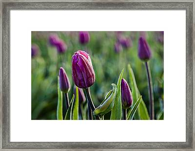 One Tulip Among Many Framed Print by Mary Jo Allen
