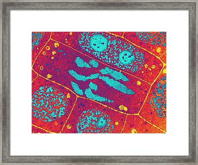 Onion Root Tip Framed Print by Ammrf, University Of Sydney