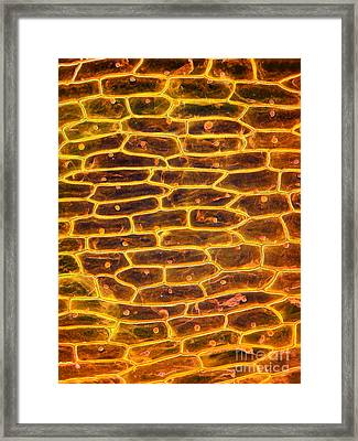 Onion Skin Framed Print by Garry DeLong