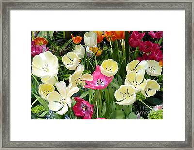 Open Tulips Framed Print by Kathleen Struckle