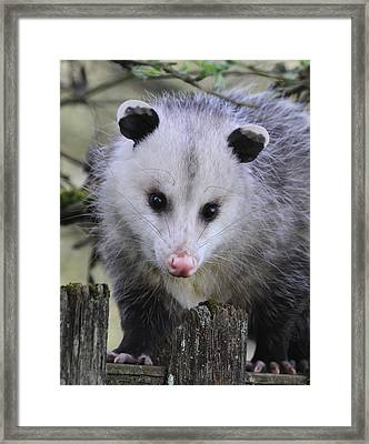 Opossum Framed Print by Angie Vogel