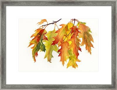 Orange And Yellow Oak Leaves Framed Print by Sharon Freeman