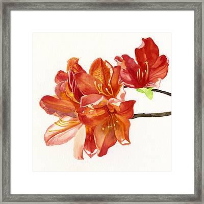 Orange Azalea Square Design Framed Print by Sharon Freeman