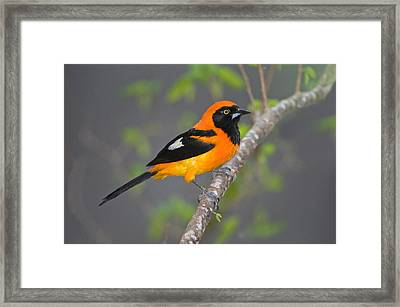Orange-backed Troupial Icterus Framed Print by Panoramic Images