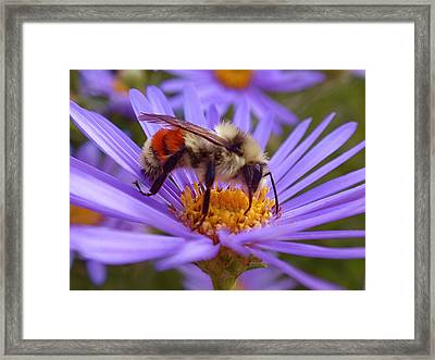 Orange-banded Bee Framed Print by Rona Black