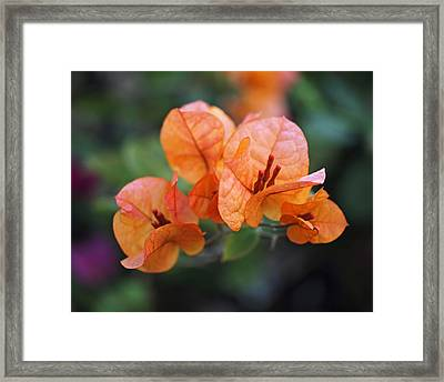 Orange Bougainvillea Framed Print by Rona Black