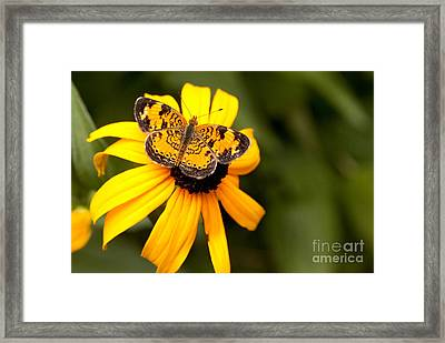 Orange Butterfly Framed Print by Lena Auxier