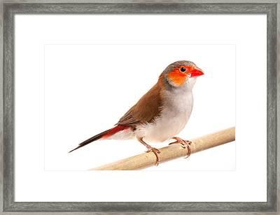 Framed Print featuring the photograph Orange-cheeked Waxbill Estrilda Melpoda by David Kenny