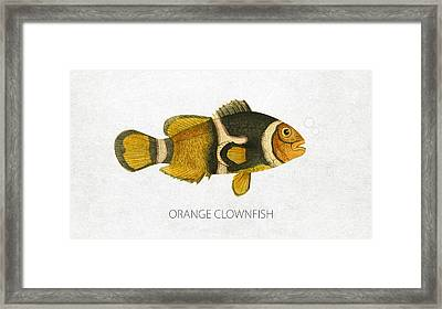 Orange Clownfish Framed Print by Aged Pixel