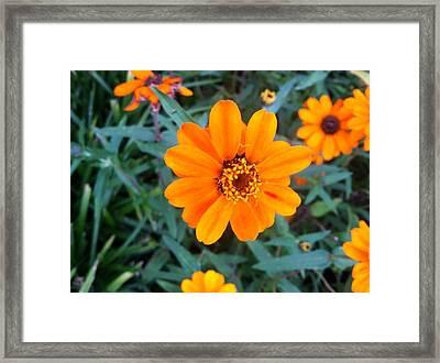Orange Flowers Framed Print by Hannah  Van Pelt