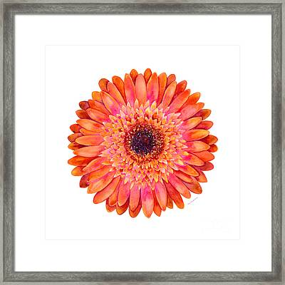 Orange Gerbera Daisy Framed Print by Amy Kirkpatrick