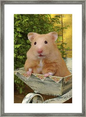 Orange Hamster Ha106 Framed Print by Greg Cuddiford
