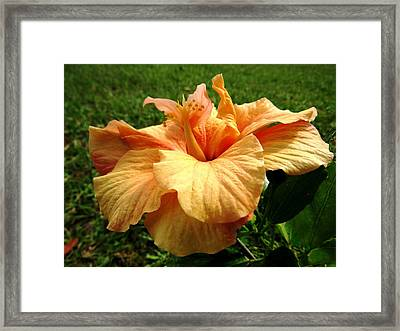 Orange Hibiscus Framed Print by Zina Stromberg