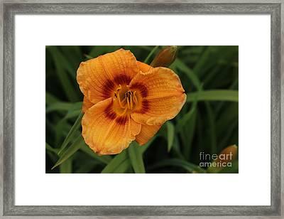 Orange Kiss Framed Print by Linda Meyer