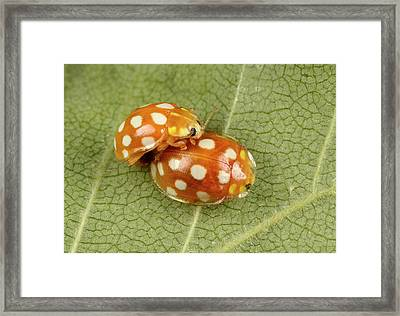 Orange Ladybirds Mating Framed Print by Nigel Downer