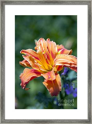 Orange Lily Framed Print by Amanda Barcon