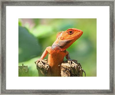 Orange Lizard Framed Print by Neven Milinkovic