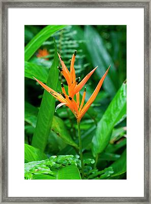 Orange Parrot Heliconia (heliconia Framed Print by Susan Degginger