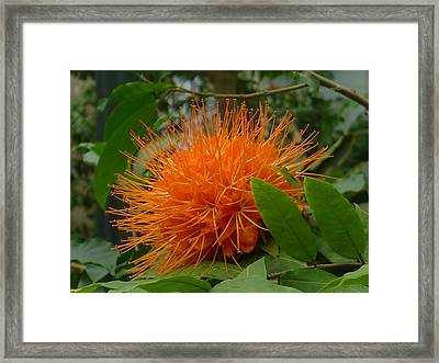 Orange Pin-cushion Plant Framed Print by Denise Mazzocco